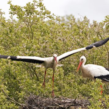 Un couple de cigogne se relaie dans le nid où de jeunes cigogneaux se cachent. La cigogne de droite vient de rentrer alors que celle de gauche s'envole pour aller chercher la nourriture.