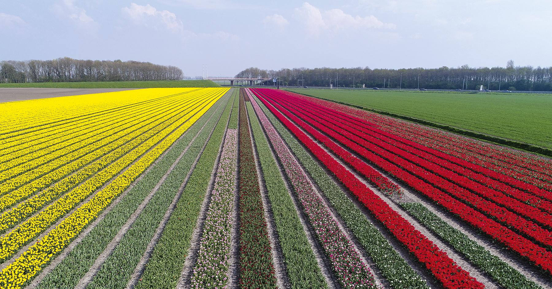 dji 0010 Au pays des tulipes